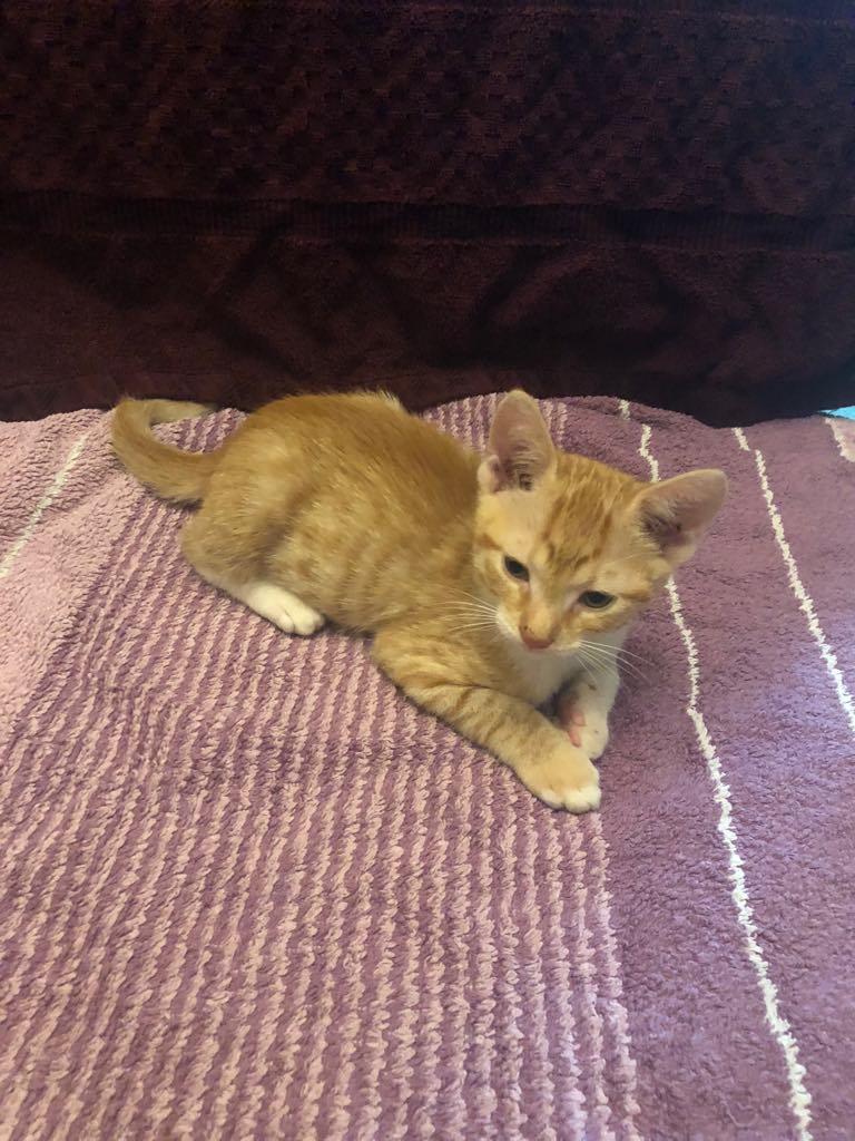 CHARLIE - joli petit chat mâle beige, né en mai 2018 (BUCAREST) - CHEZ CARMINA - ADOPTE EN ROUMANIE 40039510