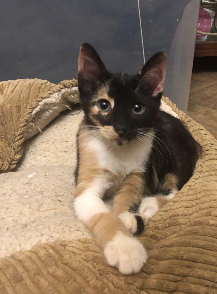 BETZI- magnifique chat femelle multicolore, née en mai 2018 (BUCAREST) - CHEZ CARMINA - RESERVEE EN ALLEMAGNE 40051810