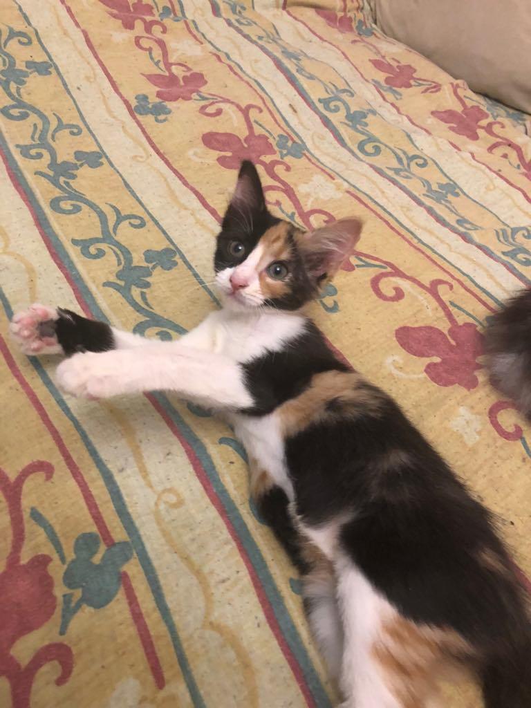 NALA - magnifique chat femelle multicolore, née en mai 2018 (BUCAREST) - CHEZ CARMINA - ADOPTEE EN ROUMANIE 40066110