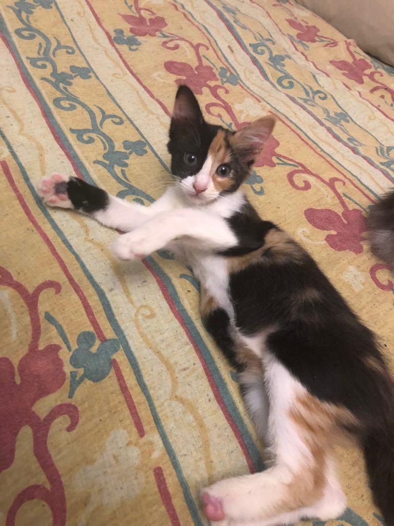 NALA - magnifique chat femelle multicolore, née en mai 2018 (BUCAREST) - CHEZ CARMINA - ADOPTEE EN ROUMANIE 40066310