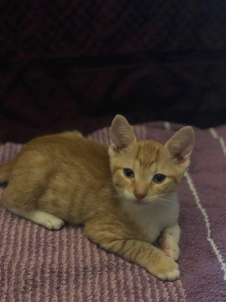 CHARLIE - joli petit chat mâle beige, né en mai 2018 (BUCAREST) - CHEZ CARMINA - ADOPTE EN ROUMANIE 40122610