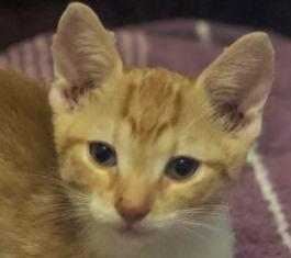 CHARLIE - joli petit chat mâle beige, né en mai 2018 (BUCAREST) - CHEZ CARMINA - ADOPTE EN ROUMANIE 40122611