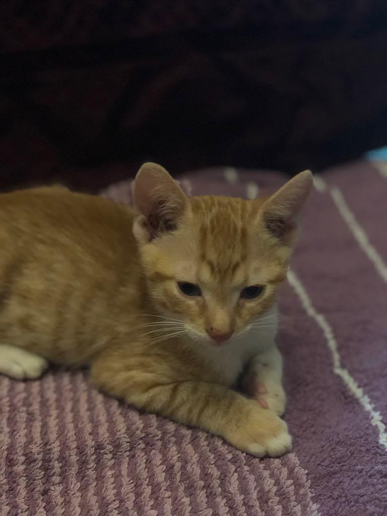 CHARLIE - joli petit chat mâle beige, né en mai 2018 (BUCAREST) - CHEZ CARMINA - ADOPTE EN ROUMANIE 40139610