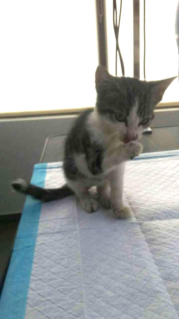RAINBOW - très joli chat mâle, très joueur, né en juin 2018 - ADOPTE EN ROUMANIE 41524110