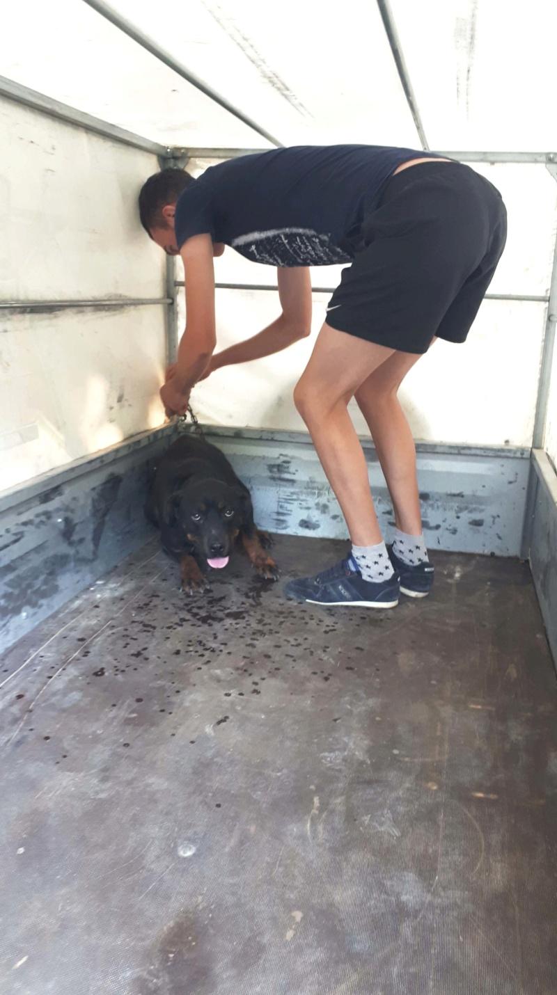 RIHANNA - femelle Rottweiler de taille moyenne, née environ en  2015 (PASCANI) - adoptée par Jessica (Belgique) 41827711