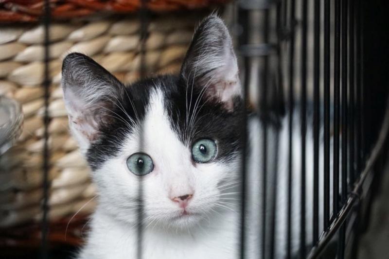 OMII - magnifique chat mâle, né en juin 2018 (BUCAREST) - CHEZ CARMINA - réservé par une autre association 42686610