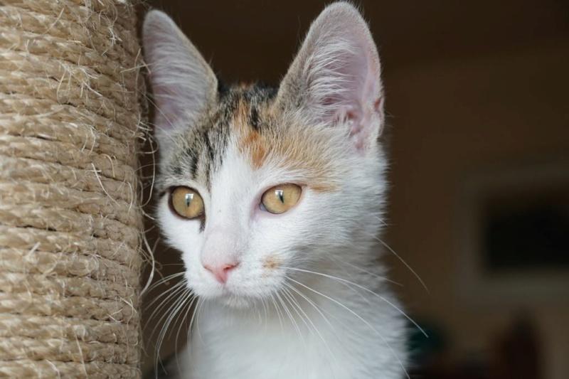 MIAA - magnifique chat femelle, née en juin 2018 (BUCAREST) - CHEZ CARMINA - ADOPTE EN ROUMANIE 42717610