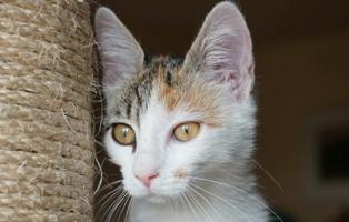 MIAA - magnifique chat femelle, née en juin 2018 (BUCAREST) - CHEZ CARMINA - ADOPTE EN ROUMANIE 42717611