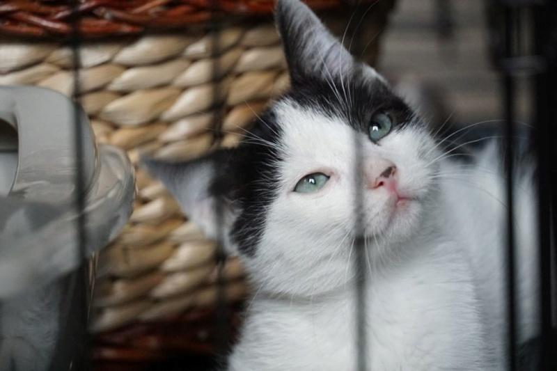 OMII - magnifique chat mâle, né en juin 2018 (BUCAREST) - CHEZ CARMINA - réservé par une autre association 42761210