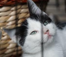 OMII - magnifique chat mâle, né en juin 2018 (BUCAREST) - CHEZ CARMINA - réservé par une autre association 42761211