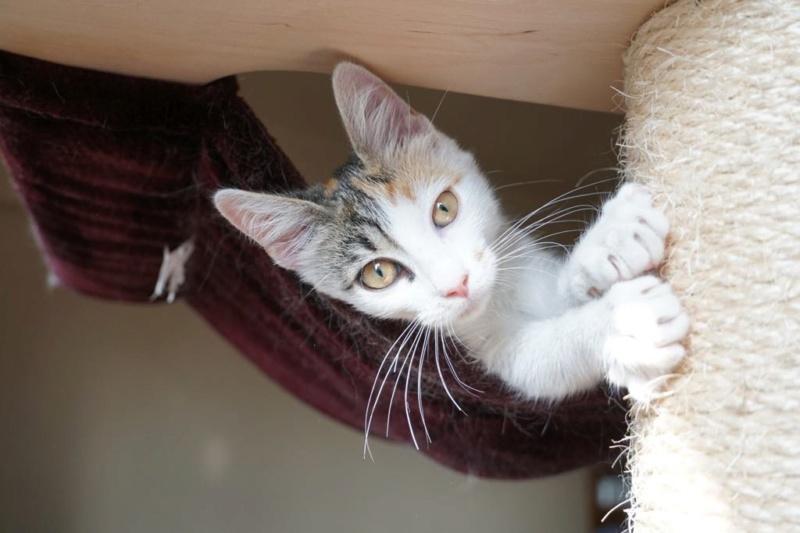 MIAA - magnifique chat femelle, née en juin 2018 (BUCAREST) - CHEZ CARMINA - ADOPTE EN ROUMANIE 42787510