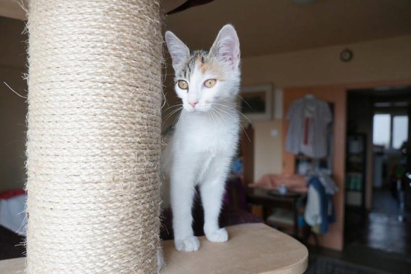 MIAA - magnifique chat femelle, née en juin 2018 (BUCAREST) - CHEZ CARMINA - ADOPTE EN ROUMANIE 42822510
