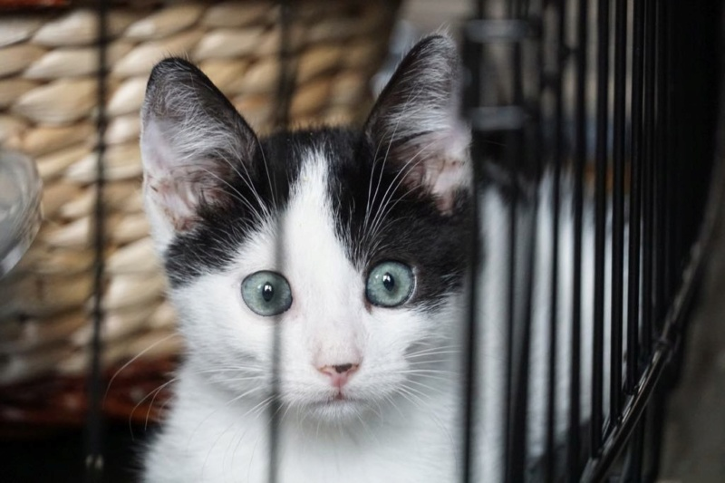 OMII - magnifique chat mâle, né en juin 2018 (BUCAREST) - CHEZ CARMINA - réservé par une autre association 42824110