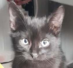 SULTAN - magnifique chat mâle, né en juillet 2018  (PASCANI) - ADOPTE EN ROUMANIE 44536511