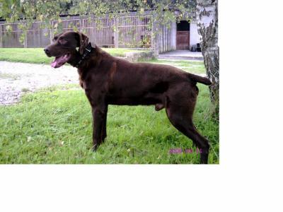 Dalton, braque allemand (39) 20074211