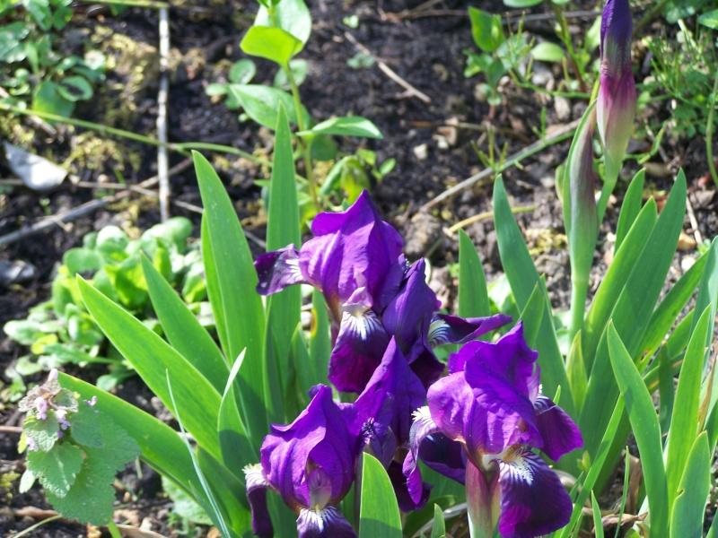 Iris 100_1210