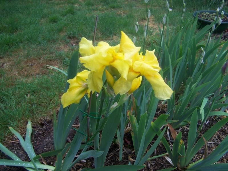 Iris 100_1413
