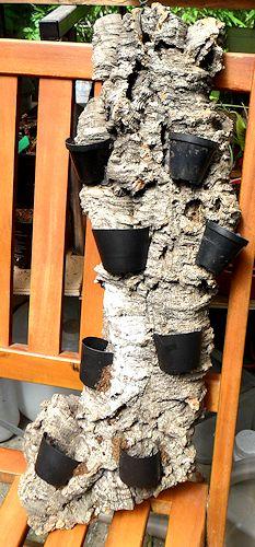 Un arbre à Hydnophytum  Ecorce10