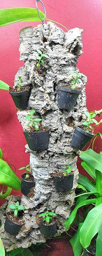 Un arbre à Hydnophytum  Ecorce13