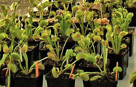 Bourse aux plantes carnivores IV 2013 - Page 2 Plante10