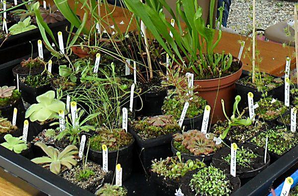 Bourse aux plantes carnivores IV 2013 - Page 2 Plante11