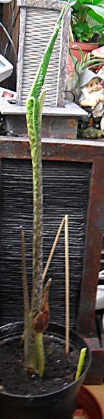 Sauromatum Venosum - Arum Cornu (ou bien comment avoir des nausées...) Sauron14