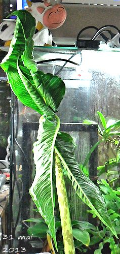 Sauromatum Venosum - Arum Cornu (ou bien comment avoir des nausées...) Sauron19