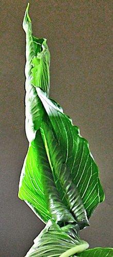 Sauromatum Venosum - Arum Cornu (ou bien comment avoir des nausées...) Sauron21