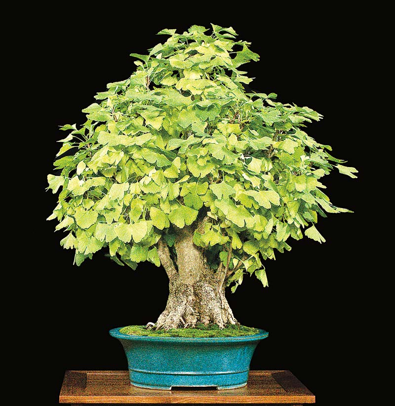 SPECIAL BENEFIT AUCTION AT JUNE BONSAI COLLOQUIUM Ginkgo10