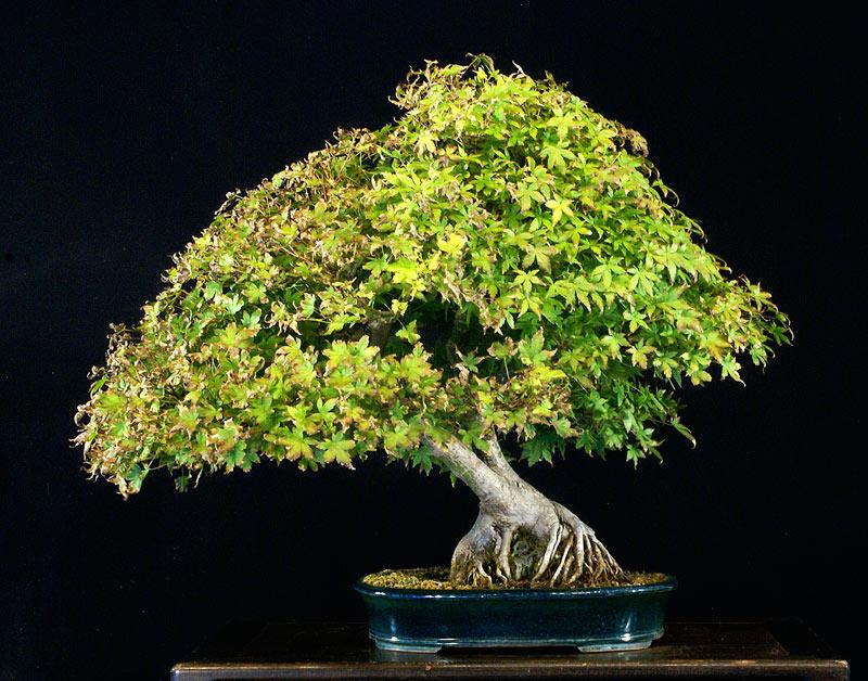 SPECIAL BENEFIT AUCTION AT JUNE BONSAI COLLOQUIUM Japane10