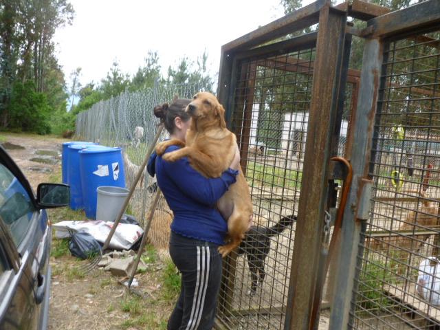 Sky chiot femelle 6 mois type labrador P1020027