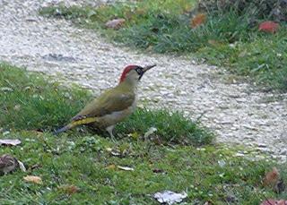 Les oiseaux du jardin (28 espèces d'oiseaux observées pour vous) Copie_10