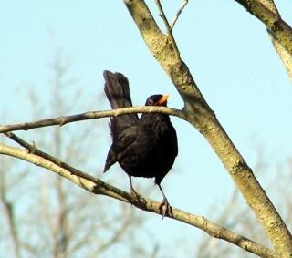 Les oiseaux du jardin (28 espèces d'oiseaux observées pour vous) Dsc03310