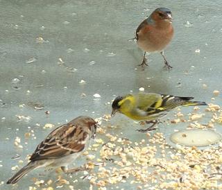 Les oiseaux du jardin (28 espèces d'oiseaux observées pour vous) Dsc05210