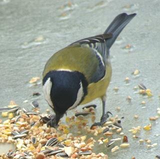Les oiseaux du jardin (28 espèces d'oiseaux observées pour vous) Dsc05211