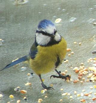 Les oiseaux du jardin (28 espèces d'oiseaux observées pour vous) Dsc05212