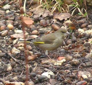 Les oiseaux du jardin (28 espèces d'oiseaux observées pour vous) Dsc05213