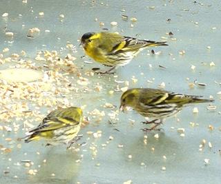 Les oiseaux du jardin (28 espèces d'oiseaux observées pour vous) Dsc52610