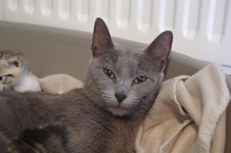 Mila petite chatte bleue de 10 mois (IDF) Felv +  08_05_10