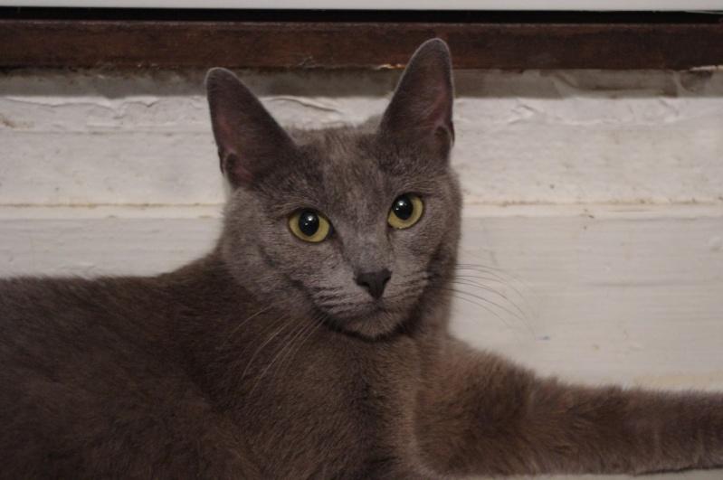 Mila petite chatte bleue de 10 mois (IDF) Felv +  29-05_10