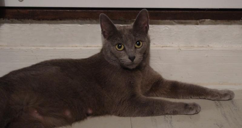Mila petite chatte bleue de 10 mois (IDF) Felv +  29-05_12