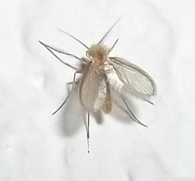 [Psychodidae] petit moucheron qui pique 100_6910
