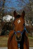 7 yr old sport Arab mare Rox110