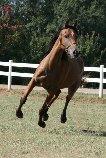 7 yr old sport Arab mare Rox212