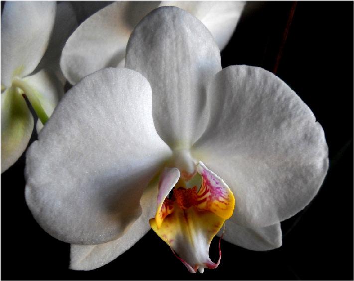 Passione per la fotografia: le nostre foto. - Pagina 3 Orchid11