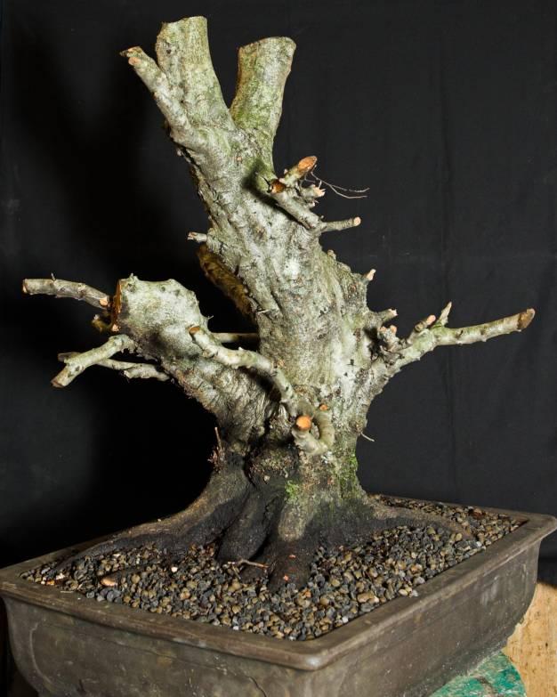 Carpinus orientalis - progressions 2010/2011 Mario_10