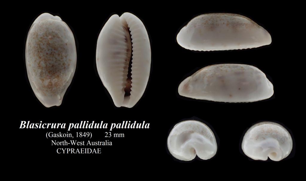 Blasicrura pallidula pallidula - (Gaskoin, 1849) Blasic12