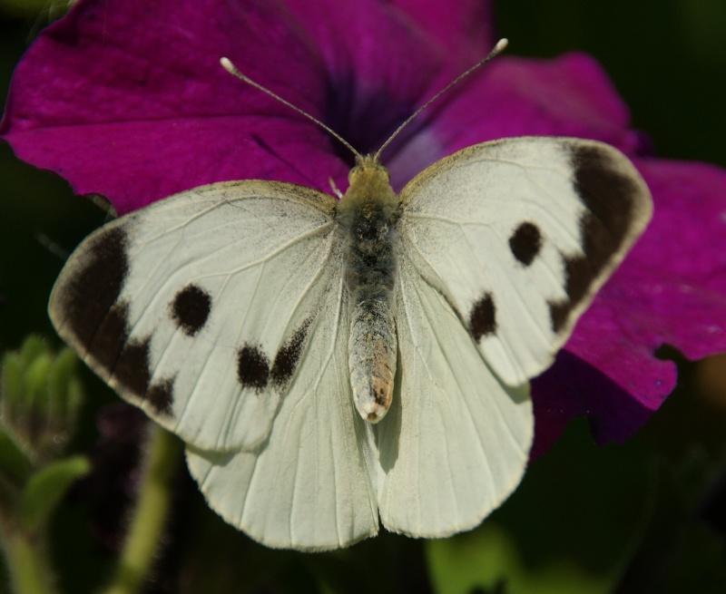 Jolis papillons Dsc02710