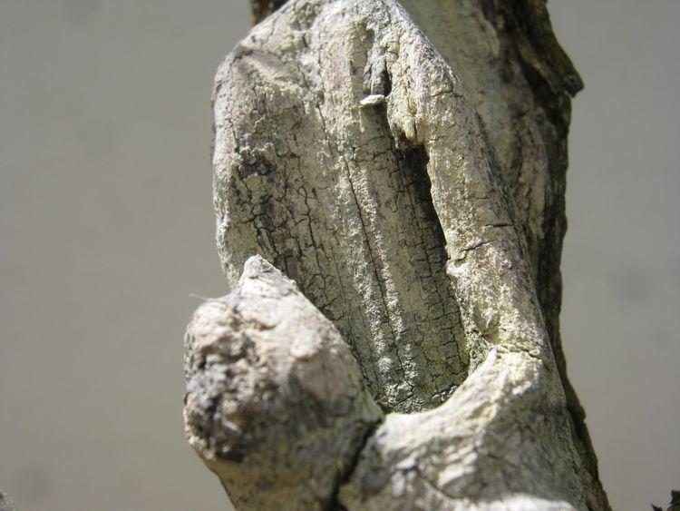 Acacia , brutta bestia . Immagi26