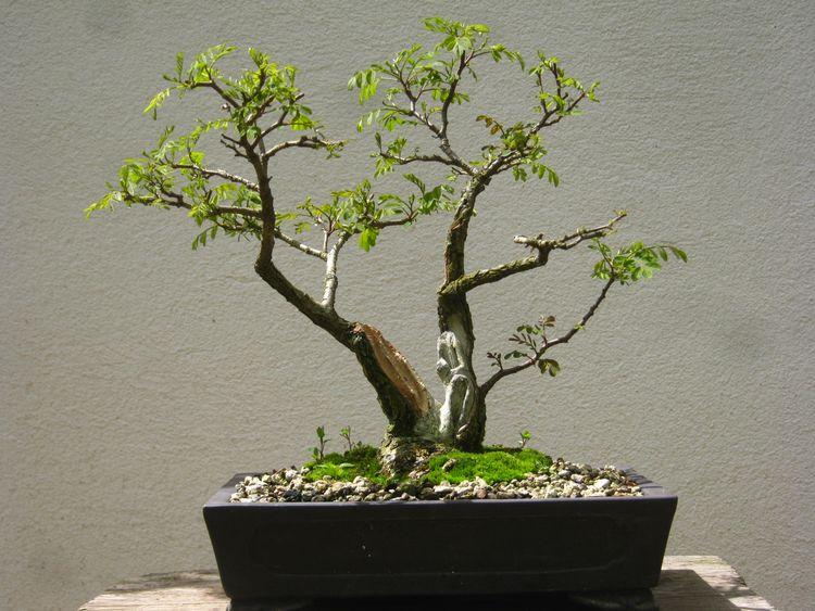 Acacia , brutta bestia . Immagi30